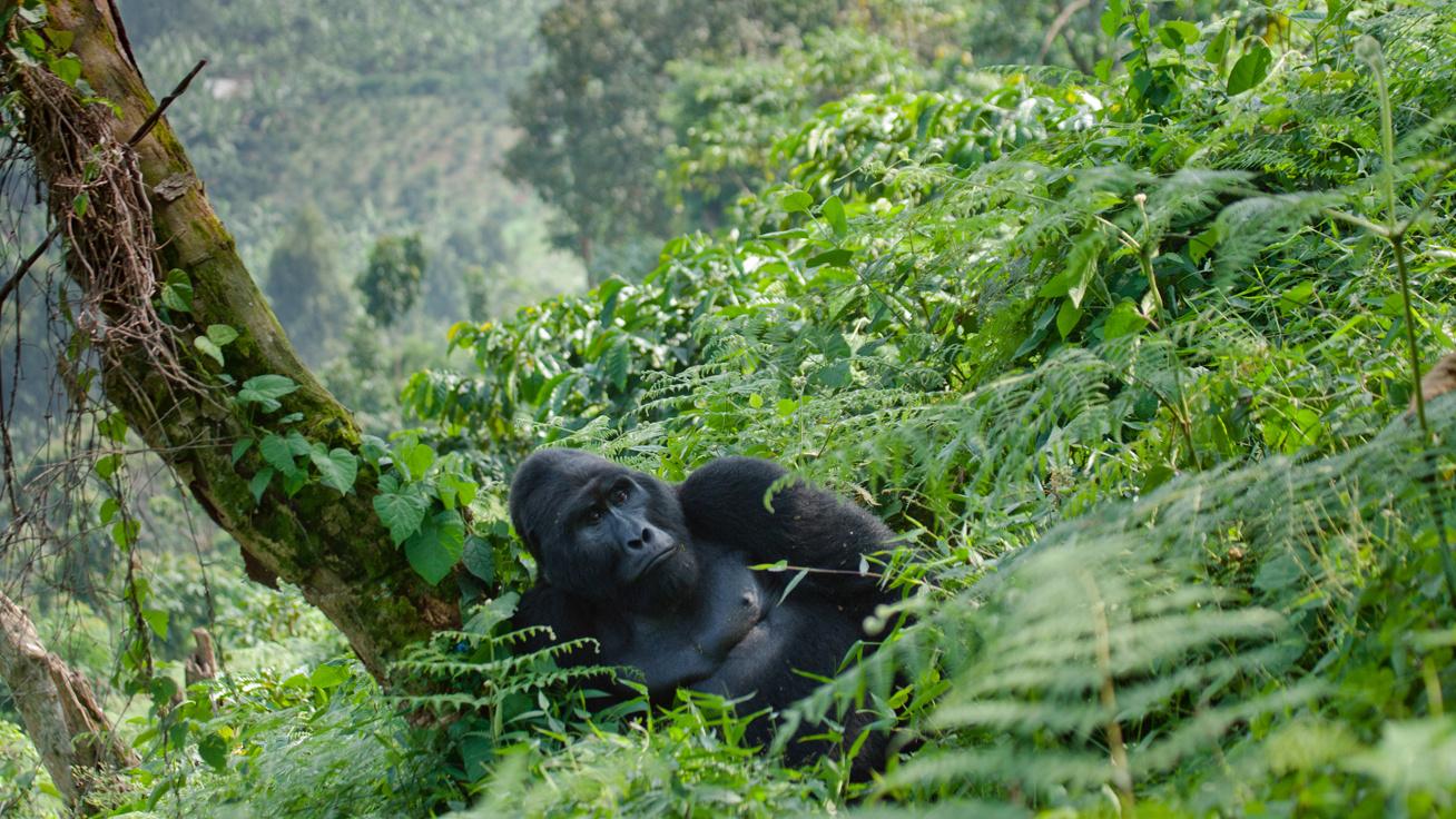 cover-gorilla-ok