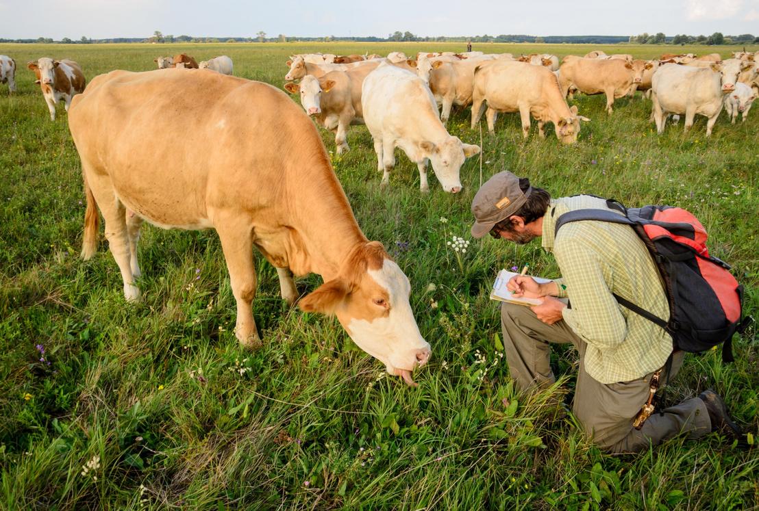 Molnár Zsolt vizsgálja egy tehén legelését Kunpeszéren
