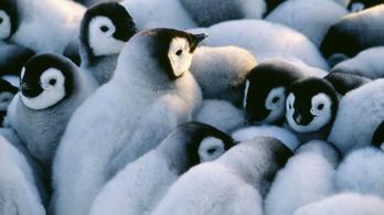 Több ezer császárpingvin-fióka fulladt meg az Antarktisznál