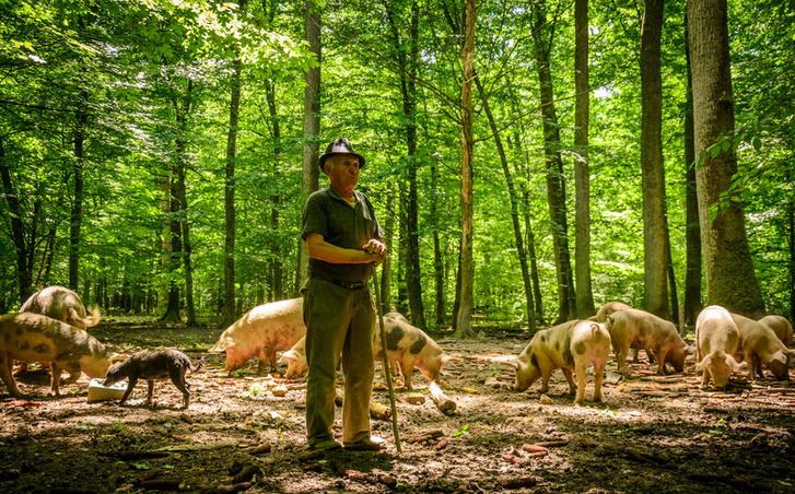 Erdei sertéstartás a Száva-menti erdőkben (Šević Josif disznósgazda)