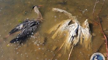 Tömegével pusztulnak az állatok a polgári halastavon