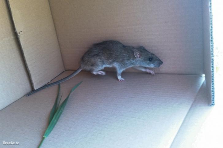 """""""XI. Kondorosi út családi házas részén, valószínűleg egy kis épület bontása után jelent meg minimum 3 patkány, az egyik hozzánk menekült be de csapdába csaltuk."""""""