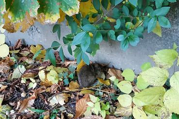 """""""16. kerületi patkány helyzet sem a legjobb. A képeket már tavaly októberben csináltam a Bökényföldi és a Rajka utca sarkánál, de hasonló a helyzet a Csömöri útnál és a Szent Korona útnál is. """""""