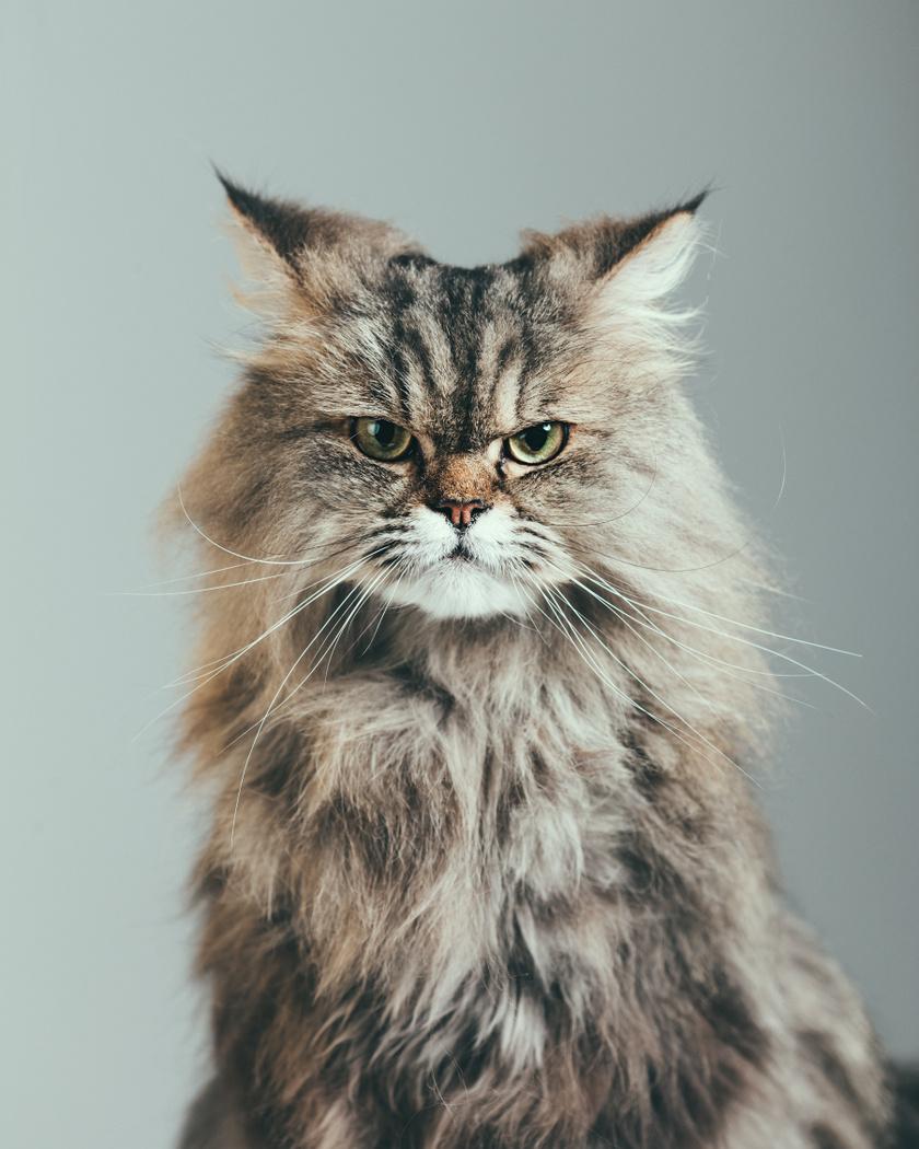 Ha hegyesen hátrahúzza a füleit, és a szemeivel is kissé hunyorít, az egyértelműen arra utal, hogy mérges, ideges a macska. Ebben az esetben gyakran pofonnal, harapással reagál az érintésre.