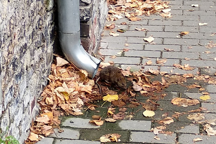 """We were walking around the area where my flat is in Turbina street in the XIII. district with my girlfriend, when we (almost literally) stumbled upon this rat."""