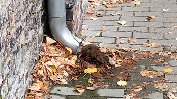 Budapest's uniquely rat-free status seems to be a thing of the past