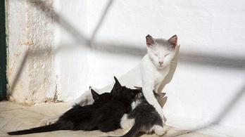 Az ausztrál kormány 2 millió kóbor macskát ölne le mérgezett kolbásszal