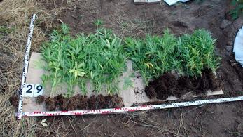 Kannabisz ültetvényt találtak Kiskunfélegyházán