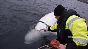 Lehet, hogy mégsem orosz kém a Norvégiába átúszott fehér delfin