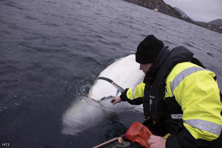 2019. április 29-én közreadott képen Jörgen Ree Wiig norvég halász próbálja elérni a belugára csatolt hámot a norvég partok közelében április 26-án