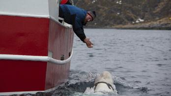 Orosz harci delfint találtak a halászok Norvégia partjainál