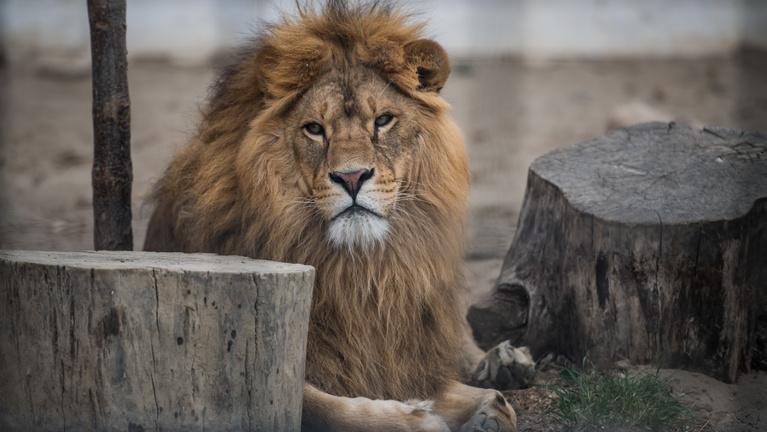 Elkobozták az illegális érdi oroszlánokat, lett helyettük hét másik