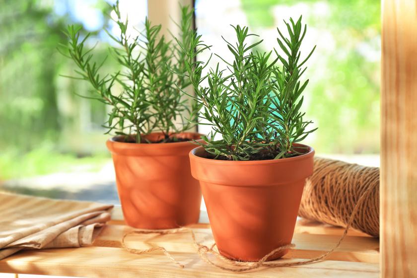 A rozmaring napos erkélyek kedvelt évelője. A fűszernövény a gyomor- és bélgörcsökre gyógyír a népgyógyászatban, de élénkítő hatással is bír. Antioxidáns-forrás, van, ahol a hosszú élet titkának is tartják. Húsételekbe tehető, de akár fürdővíz-illatosításra is használható.
