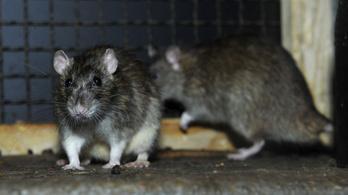 Háromszázmilliós pluszforrásból sem ígérik a patkánykérdés megoldását