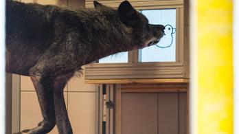 A farkasok segítőkészebbek a kutyáknál