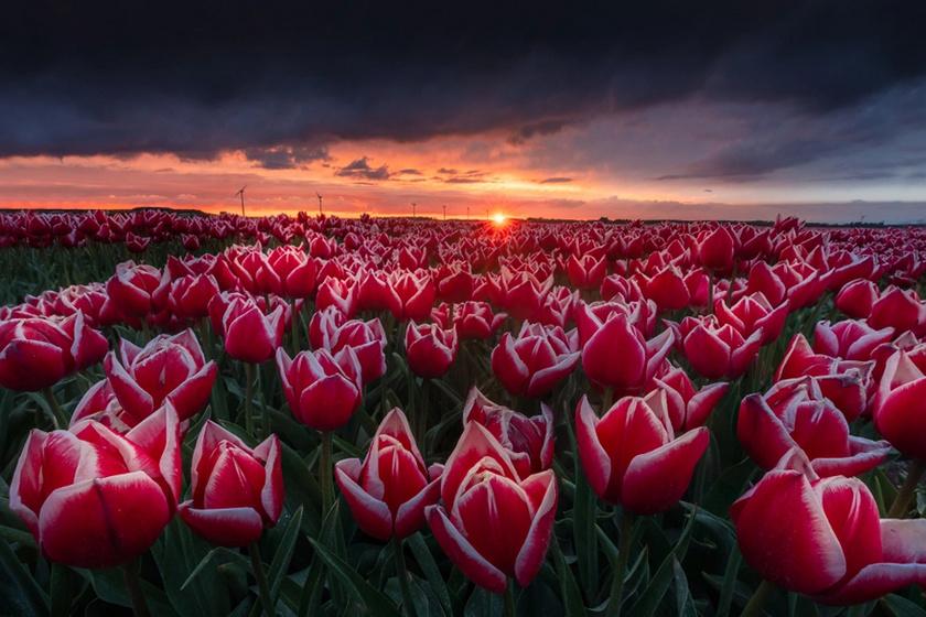 tulipan-1