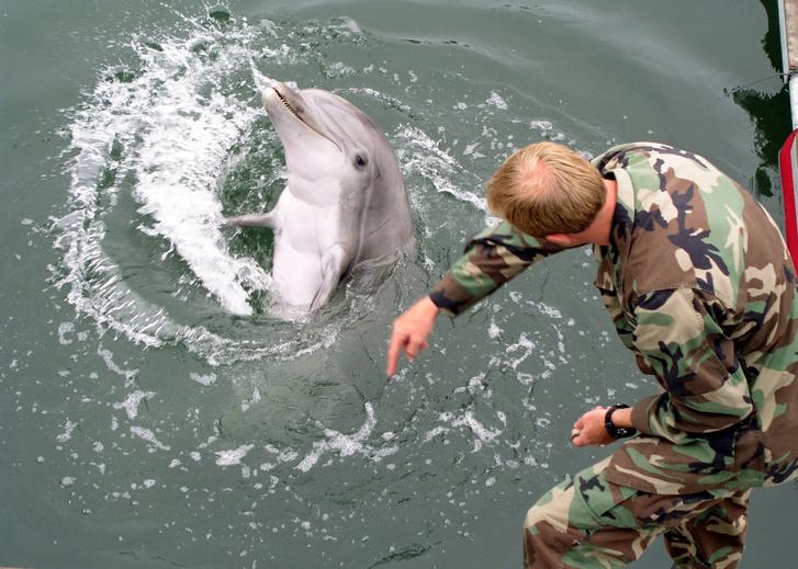 Egy kiképző kézjelekkel utasítja palackorrú delfinjét