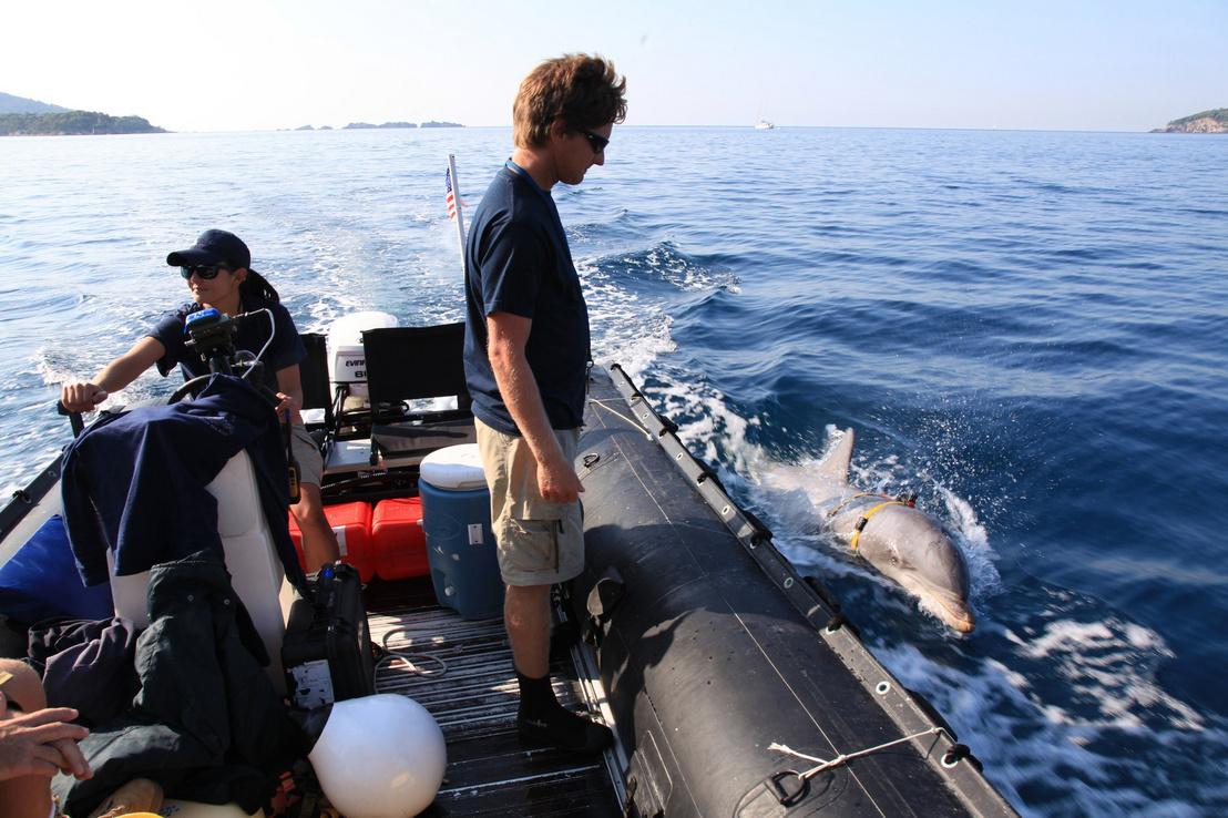 Egy palackorrú delfin keres víz alatti aknákat egy gyakorlat közben