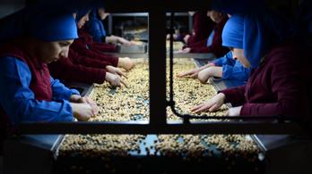 Alulfizetett menekült gyerekekkel szedetik a mogyorót a Nutellához