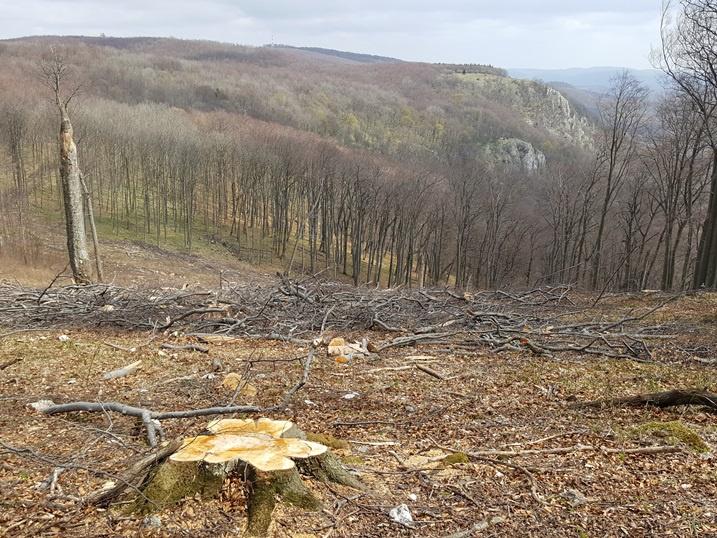 Kivágott 180 éves erdő