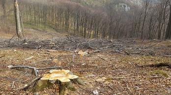 WWF: Kivágták az ország egyik legidősebb erdejét