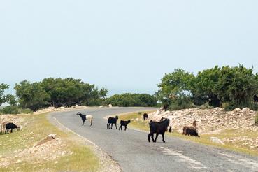 Azt írja a Wikipédia, Marokkóban az ország 47 százalékán folyik legeltetés. Szóval ahol nem homok van, ott bármikor az útra tévedhet pár patás