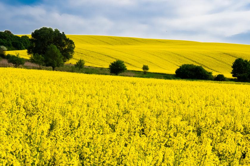 Különleges képeken Magyarország tavaszi csodája: nekünk még a holland tulipánvirágzásnál is szebb