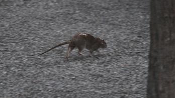 Szerdán indul a fővárosi patkányirtás