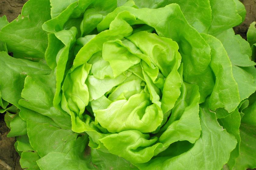 A fejes saláta igazi tavaszi csemege, tele van káliummal, A- és K-vitaminnal, de a víztartalma is kiemelkedően magas. Tojásos nokedli nincs is ilyenkor ropogós saláta nélkül.