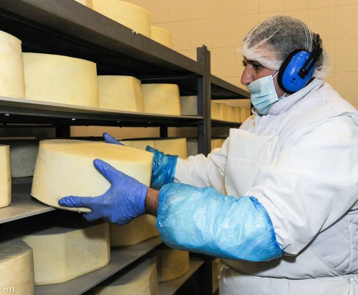 A legnagyobb, nyolc kilogrammos sajt az érlelőben. A Kőröstej Kft. hajdúböszörményi üzemében napi 250.000 liter tejet dolgoznak fel és gyártanak belőle nagyrészt kashkaval és trappista sajtot.