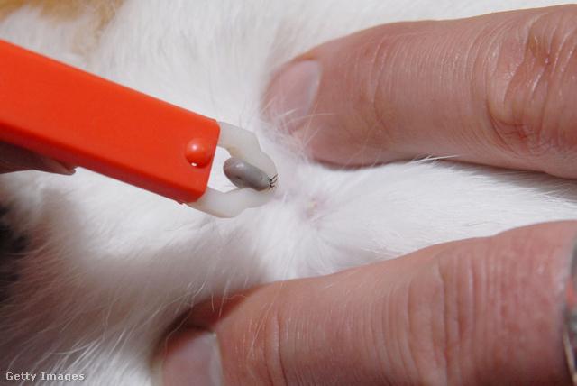 A kullancscsipesszel az állat fejét tudjuk megragadni