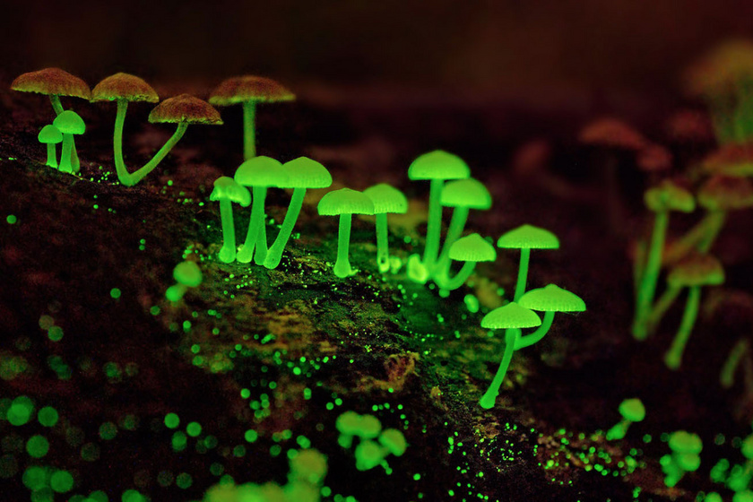 Shikoku erdeje elvarázsolt világ: világító gombái fantasztikusan szépek