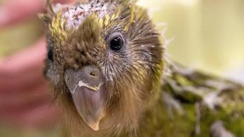 Életmentő műtétet hajtottak végre egy kakapófiókán