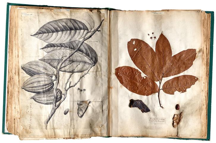 Hans Sloane által gyűjtött kakaónövény Jamaicából (1680)