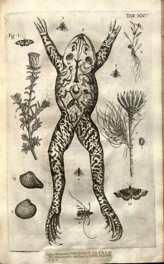 James Petiver kollekciójából származó ökörbéka rajza a gyűjtő egyik könyvéből (1702)