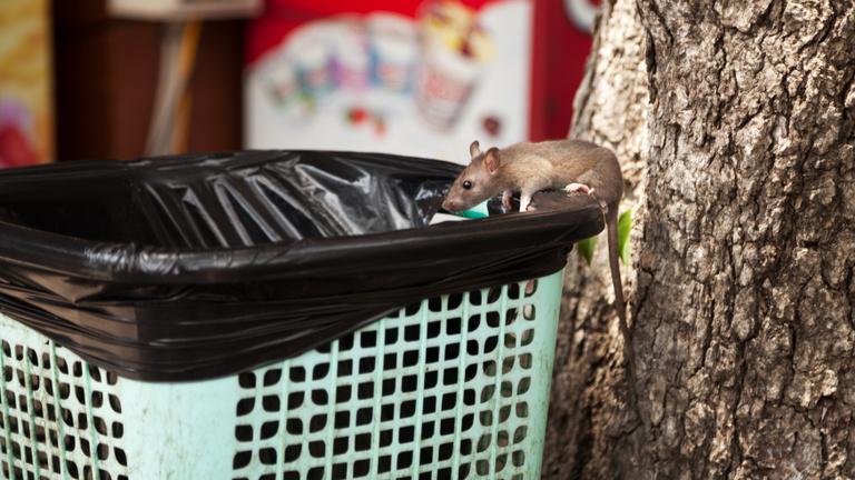 Patkányok miatt ürült ki egy óvodai csoport Zuglóban