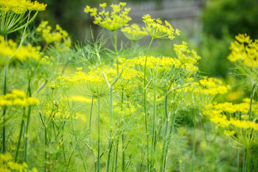 A kapor antioxidáns vitaminokat, ásványi anyagokat tartalmaz. A benne található eugenol és vanádium elősegíti és szabályozza az inzulintermelést, ezért diabéteszesek számára a leghatékonyabb gyógynövények egyike.