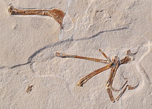 Az Alcmonavis poeschli szárnya, ahogy a mészkőlapban találták.