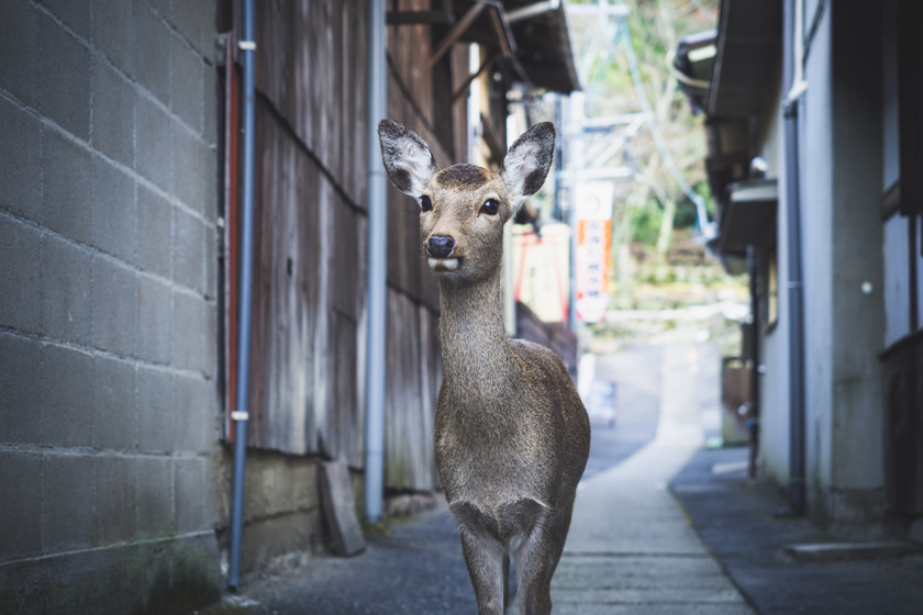 Úgy járkálnak a szarvasok a nagyváros utcáin, mintha ez lenne a világ legtermészetesebb dolga