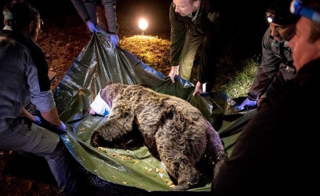 Az egyik medve elkábítása és befogása Szlovéniában