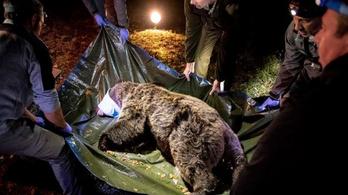 Egy Franciaországban szabadon engedett medve átlógott Spanyolországba birkákat gyilkolni