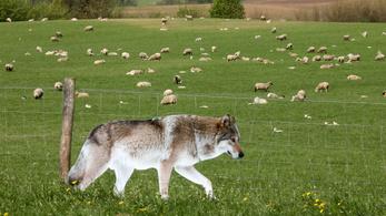 Megkérte, hogy fotózza le a bárányokat, lenyúlt 80 ezret a tárcájából
