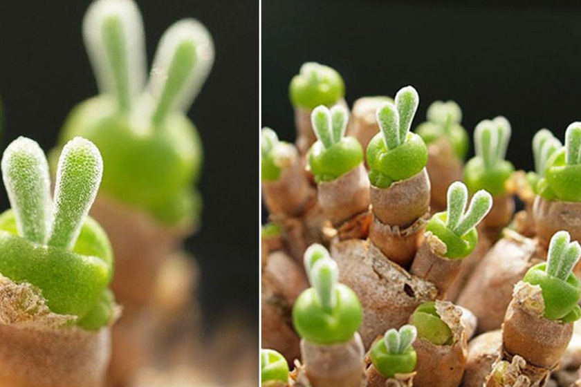 Ezért az eszméletlenül cuki növényért vannak odáig a japánok: a hajtásai úgy néznek ki, mint a nyuszifejek