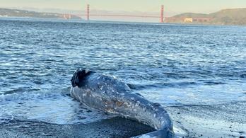 Nem bírják a globális felmelegedést a partra vetődő bálnák