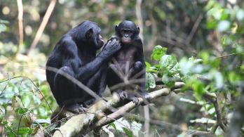 Fiaik helyett is rámenősek a bonobó anyák