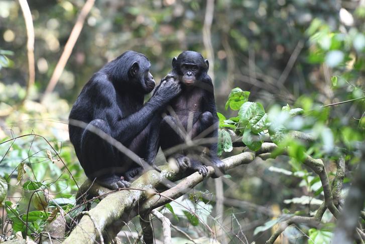 Fiát pátyolgató bonobó nőstény a Kongói Demokratikus Köztársaság Kokolopori Bonobo Rezervátumában