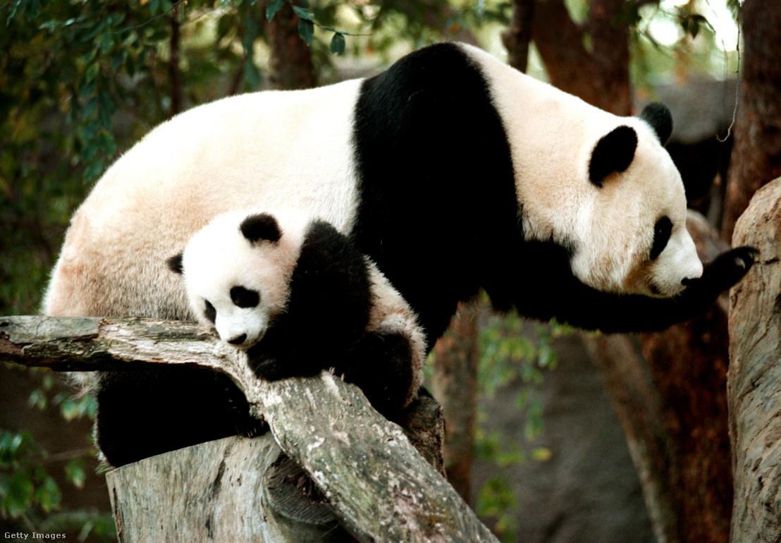 Baj Jun és 5 hónapos kicsinye Hua Mei a San Diegó-i állatkertben 2000. január 28-án