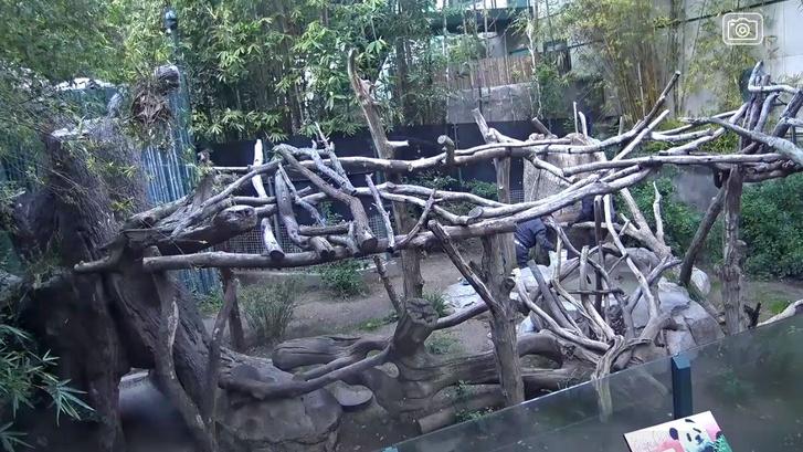 Baj Jun és Xiao Liwu kifutójának kameraképe a San Diegó-i állatkert Panda Cam-én. Az állatkert archív felvételeket közvetít a pandák emlékére.