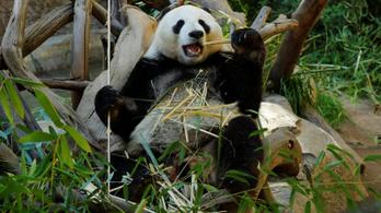 A Huawei-háború a pandákat sem kíméli