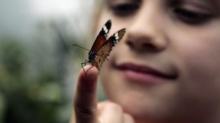 Tényleg meghalnak a lepkék, ha hozzáérünk a szárnyukhoz?